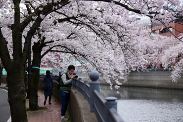 大岡川,花見