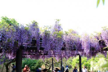 横須賀しょうぶ園ふじ祭