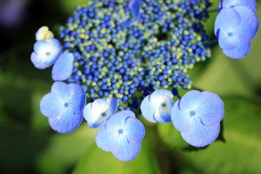 横須賀しょうぶ園紫陽花